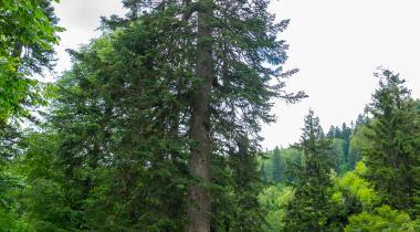 Gümüşhane Örümcek Ormanı Göknarı - 3 Tabiat Anıtı