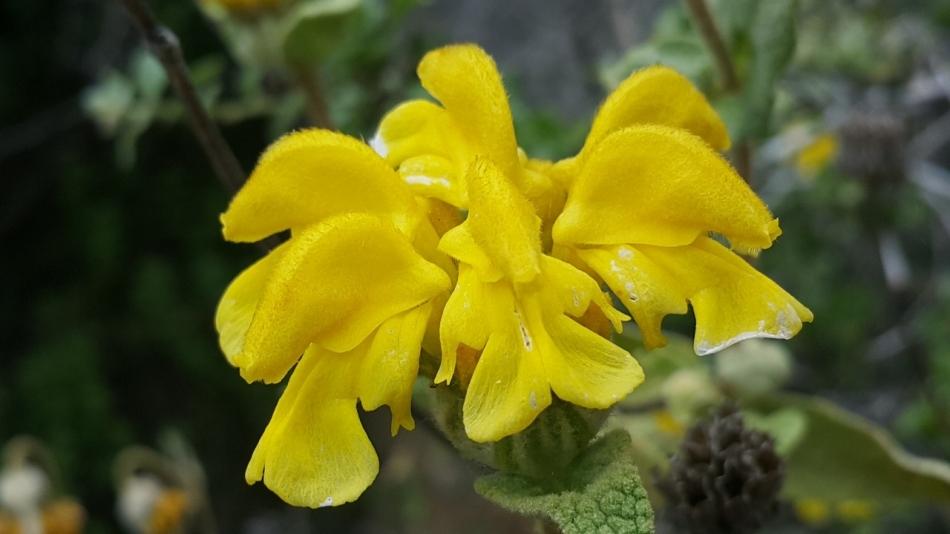 Şalba - Phlomis Chimerae - Wildenow